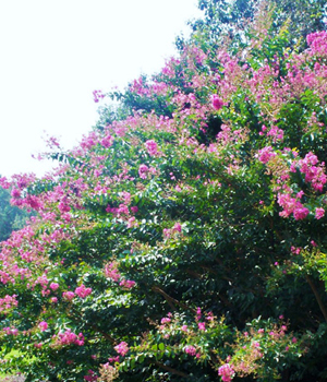 Tuskegee crapemyrtle