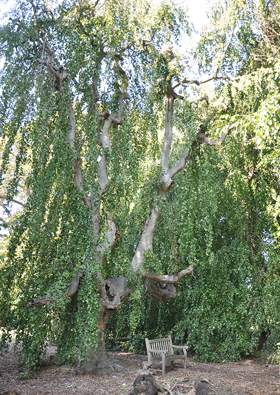 Weeping European Beech
